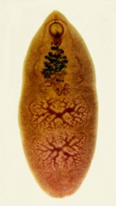 Fasciolopsis buski